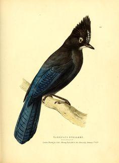 Garrulus stelleri. Fauna boreali-americana, or, The zoology of the northern parts of British America pt. 2 London :John Murray,1829-1837. Biodiversitylibrary. Biodivlibrary. BHL. Biodiversity Heritage Library