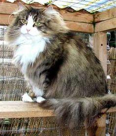 Nimrod Norwegian Forest Cats