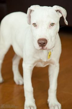 Tofu the Dog – Deaf White Pitbull Mix Tofu the Dog! She is a Deaf White Pitbull Mix and she is available for adoption! Cute Puppies, Cute Dogs, Dogs And Puppies, Doggies, Beautiful Dogs, Animals Beautiful, Adoption, Animals And Pets, Cute Animals