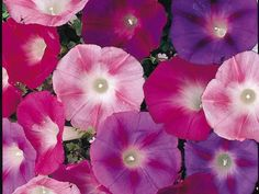 Morning Glory Seeds * Early Call Mixed * Large Trumpet-Like Blooms - 25 Seeds Small Retaining Wall, Evergreen Climbers, Climbing Vines, Passion Flower, Flower Seeds, Trumpet, Beautiful Gardens, Greenery, Planter Pots