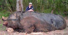 Samedi dernier à Seillons-Source-d'Argens, dans le Var, un jeune chasseur de douze ans a tiré au revolver sur un sanglier de plusieurs tonnes et l'a abattu. Ce sanglier de taille impressionnante était responsable de nombreux dégâts dans la région, saccageant les champs et les cultures. Il effrayait également les troupeaux de bétails. C'est donc tout …