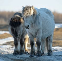 The totally adorbs Yakut horses. These little dudes are probably the toughest on the planet...even went to Antarctica! (also rumoured to be omnivorous)