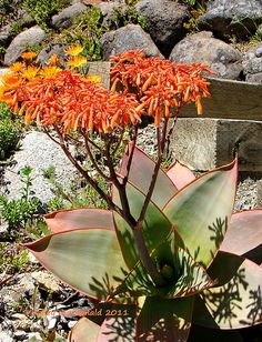 Aloe striata | Flickr - Photo Sharing! Kelly Macdonald