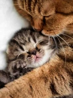 Photographic Print: Mother Cat Hugging Little Kitten by Andrey_Kuzmin : 24x18in