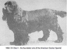 1882 Ch Obo II Am. Cocker Spaniel foundation sire