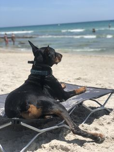 The Doberman Pinscher is among the most popular breed of dogs in the world. Known for its intelligence and loyalty, the Pinscher is both a police- favorite I Love Dogs, Cute Dogs, Black And Tan Terrier, German Dog Breeds, Doberman Love, Doberman Pinscher Dog, Amor Animal, Beautiful Dogs, Simply Beautiful