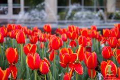 #TCU Tulips