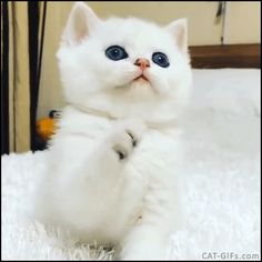 KITTEN GIF • Cute white Kitten with black jelly bean toes gently playing with her toy