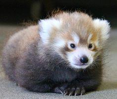 Ik wil een rooie wasbeer.