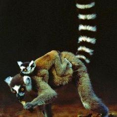 Lemur mama