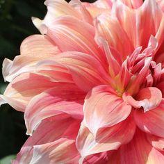 Dahlia Frost Nip - coral pink swirls with sparkles