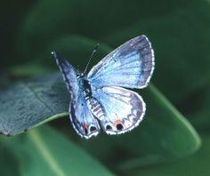 Miami Blue (Hemiargus thomasi) female above    http://www.naba.org/miamiblue.html