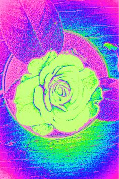 Pink rose gone green, by Dani Haviland, and Picasa