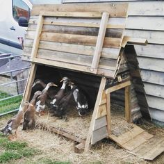 The new duck palace. They have grown a bit in the last couple of weeks so they are really appreciating Neel's handiwork. The previous hut was getting to be a bit of a squeeze #runnerducks #lingsmeadow Runner Ducks, Palace, Couple, Table, Home Decor, Decoration Home, Room Decor, Palaces, Tables