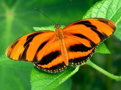 Origin Central America. Orange banded Heliconian - Dryadula phaetusa - Butterfly information sheet