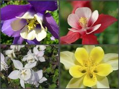 4 DRUHY ORLÍČEK - Aquilegia caerulea Spring, Plants, Plant, Planting, Planets