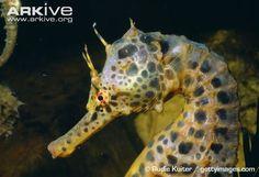 Google Image Result for http://cdn2.arkive.org/media/E1/E1A746A1-8381-418F-AEDD-48D8131B16D7/Presentation.Large/Big-belly-seahorse-head-detail.jpg