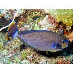 Vlaming's unicornfish (Naso vlamingi)