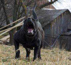 Mood #presacanario #mastiff #angry #habbit #mood #workingdogs #workout #cckpresacanario