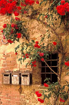 Cinque Terre, Italy / Wall with roses