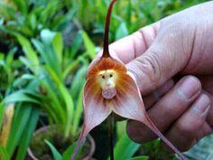 Orquidea caramono