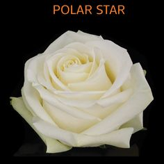The Polar Star is a pure white rose; it is a chic rose with many petals. The leaves are dark green making a perfect contrast. Wonderful Flowers, Beautiful Roses, Sahara Rose, Ecuadorian Roses, Summer Wedding Colors, Hybrid Tea Roses, Types Of Flowers, Floral Bouquets, White Roses