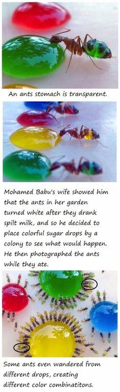 Nourriture colorée pour les fourmis