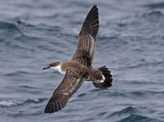 Great Shearwater  Puffinus gravis  Rare, but apparently regular in open Gulf of Mexico at all seasons. Six accepted TBRC records.