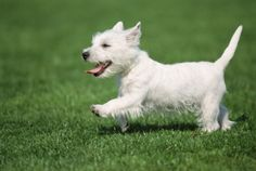 West Highland White Terrier Dogs And Puppies Dog Dandruff, Terrier Dog Breeds, West Highland White, West Highland Terrier, White Terrier, White Dogs, Westies, Pet Health, Four Legged