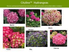 mars cityline hydrangea - Google Search