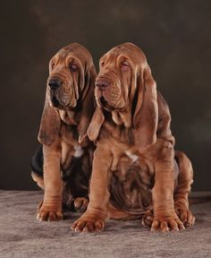 Two Bloodhounds so sweet blood hound puppies