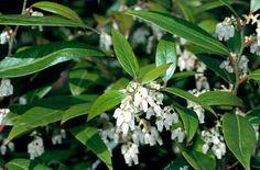 Dog laurel / Feather bush / Black laurel (Leucothoe fontanesiana)