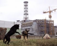 Animals are thriving in Chernobyl, proving that humans are more dangerous to wildlife than chronic radiation. Places Around The World, Around The Worlds, Chernobyl Nuclear Power Plant, Medieval, Nuclear Disasters, Wild Dogs, Save The Planet, Ghost Towns, Abandoned Places
