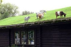 Green grass garden roof with alive lawn mowers!