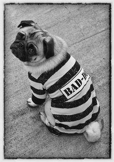 Bad Dog #Pug