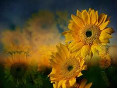 Sunflower Garden by Shirley Mangini Photography Projects, Nature Photography, Seasons In The Sun, Planting Sunflowers, American Giant, Sunflower Garden, Mellow Yellow, Yellow Flowers, Sun Flowers