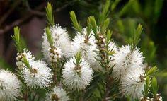 Tea tree L'olio di tea tree viene estratto dalla Melaleuca alternifoglia, una pianta di irigini australiane. Da secoli viene utilizzato nel trattamento delle infezioni cutanee e nella cura delle ferite superficiali. L'olio di tea tree ha moltissime ulteriori...