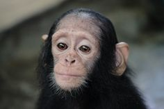 Being orphaned and without the comfort of your mother must truly be a traumatic experience. For 10-month old orphaned chimp Farah, he knows just how scary the predicament is. Farah was kept restrai…