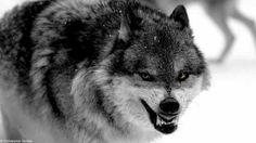 Snarling Wolf, Husky, Wolves, Animals, Animales, Animaux, Wolf, Animal, Animais