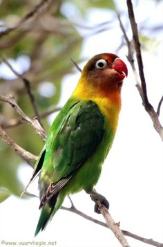 The Lilians Lovebird (Agapornis lilianae), also known as Nyasa Lovebird, is a small African parrot species of the lovebird genus. Small Birds, Love Birds, Beautiful Birds, Pet Birds, African Lovebirds, African Colors, Parrot Pet, Funny Parrots, Lovely Creatures