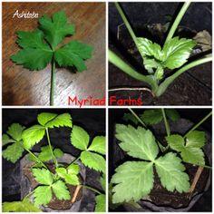 ASHITABA- angelica keiskei - Tomorrow's Leaf.  view @ MYRIAD FARMS facebook fan page
