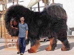 Big dog breeds - 10 Huge Dog Breeds That Just Give You More To Love Huge Dog Breeds, Huge Dogs, Giant Dogs, I Love Dogs, Biggest Dog Breeds, Big Animals, Cute Baby Animals, Animals And Pets, Funny Animals