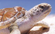 Turtle Nesting Season in Tulum Beach | My Tulum Travel Mexico