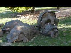 Accouplement entre tortues des Seychelles (Aldabrachelys gigantea) - Bird Island - Seychelles - http://www.nopasc.org/accouplement-entre-tortues-des-seychelles-aldabrachelys-gigantea-bird-island-seychelles/
