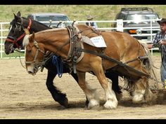 belgian horse pulling