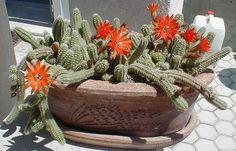 Chamaecereus silvestri - kikiriki kaktus