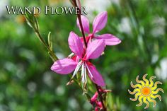 """Wand Flower Plant in full sun reaches a height of 24-30"""""""