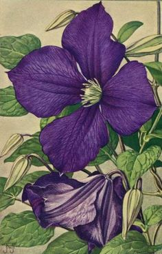 art-and-things-of-beauty:    Jan Voerman jr. (1890-1976) - Clematis, watercolor.