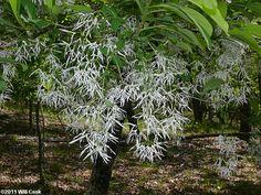 Fringetree (Chionanthus virginicus) flowers Fringe Tree, Flowers, Plants, Florals, Plant, Flower, Bloemen, Planting, Planets