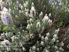 "White Lavender ""Lavandula stoechas alba"".// by Takesato Hayashi"